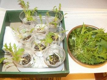 サラダ水菜_20120824_収穫後