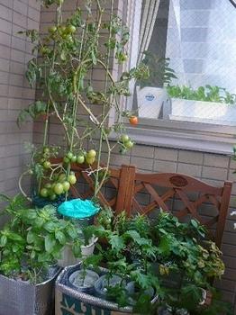 トマト_移動20121201