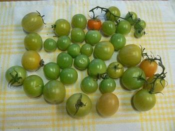 カンパリトマト_撤収前の強制収穫20121212