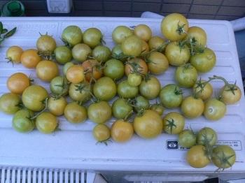 20130106_トマト収穫