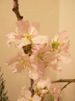 201303_桜