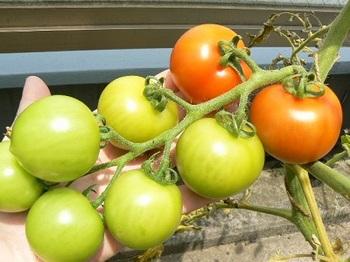 房取りトマト2_20130704