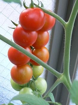 房取りトマト3_20130705