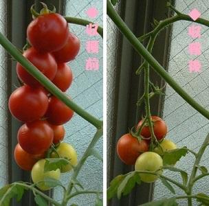 カンパリトマト_収穫_トロ箱栽培_20130712